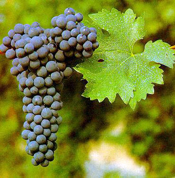Resultado de imagem para Bordeaux ou Borgonha uvas