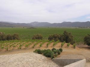 Vinhedos Santo Tomás Baja Califórnia