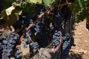 Gundlach Bundschu vinicola americana