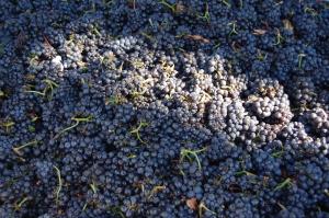 cachos-de-uvas-vinhos-tintos