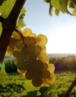riesling-uva-alemã-vinhos