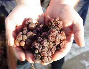 uvas-botrytizadas-vinho-alemão-sobremesa