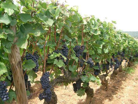 Pinot-Noir-vinhos
