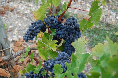uva-varietal-vinhedo